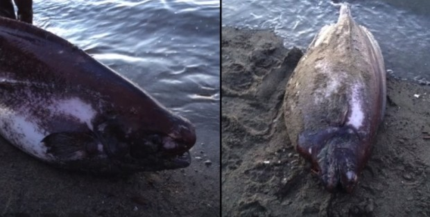 На берег Аляски выбросило редкую рыбу-тряпку