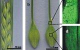 Сибирские генетики сделали первые шаги к управлению фотосинтезом