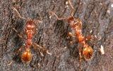 Ученые предположили, что в муравьином языке есть стадия лепета