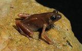 Ученые обнаружили в пещерах Таиланда новый вид и род лягушек