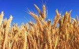 Новое русское оружие: пшеница из РФ угрожает США