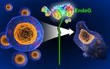 Открыт фермент, способный остановить клеточную смерть
