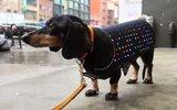 Для собак  создадут  светодиодный  дискожилет
