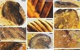 Палеонтолог впервые нашла в янтаре крылья древних птиц
