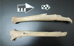 Нога человека из пещеры Тяньюань. Фото с сайта eva.mpg.de