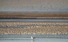 Исландские песочники в Ваттовом море. Фото Bogbumper с сайта wikimedia.org