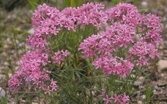 Цветущий куст Phlox pilosa. Фото с сайта wikimedia.org