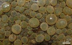 Современные колонии цианобактерий. Источник: Robert Petley-Jones