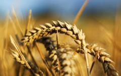 Пшеница. Фото с сайта askorltd.ru