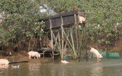 Свиньи прыгают с вышки. Фото с сайта chinadaily.com.cn