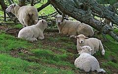 Овцы из фильма «Хоббит». Фото с сайта phununet.com
