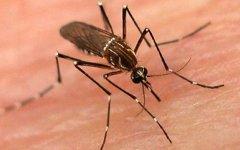 Комар - разносчик лихорадки денге. Фото с сайта samaa.tv