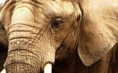 Слон. Фото с сайта freepik.com