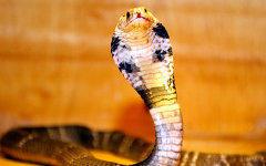 Египетская кобра. Фото с сайта allnino.ru