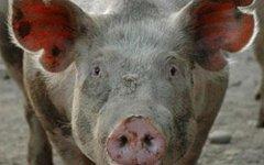 Свинья. Фото с сайта fsvps.ru