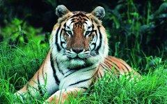 Амурский тигр. Фото с сайта artleo.com