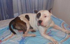 Напавшая на ребенка собака. Фотосо страницы владельца пса во «ВКонтакте»