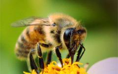 Пчела. Фото с сайта ookaboo.com