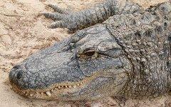 Аллигатор. Фото с сайта wikipedia.org