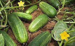 Огурцы. Фото с сайта wikipedia.org