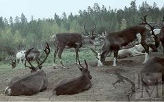 Группа оленей. Фото А.И. Баканова с сайта megabook.ru