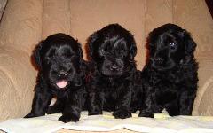 Щенки черного терьера. Фото с сайта рmoredogs.ru