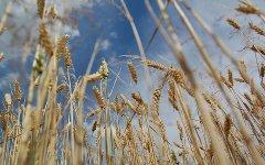 Пшеница. Фото с сайта ookaboo.com