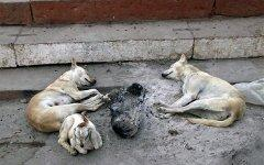 Бродячие собаки в Индии. Фото с сайта journeye.com