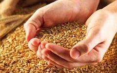 Пшеница. Фото с сайта eko-jizn.ru