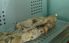 Мумия из музея природы и человека(Тенерифе). Фото с сайта wikipedia.org