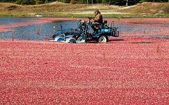 Сбор урожая клюквы в Англии. Фото с сайта abunda.ru