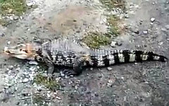 Сбежавший крокодил. Стоп-кадр с видео в YouTube