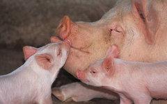 Фото с сайта pigfarmer.gr