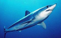 Акула-мако. Фото с сайта swfsc.noaa.gov