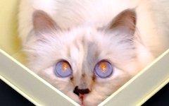 Кошка Карла Легерфельда. Фото с личной страницы модельера в Instagram