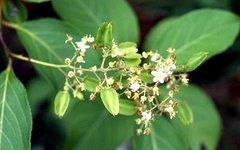 Tripterygium wilfordii (триптолид). Фото с сайта newmalecontraception.org