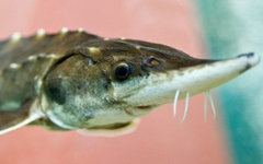 Фото с сайта fish.gov.ru