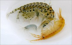 Eulimnogammarus messerschmidtii. Фото с сайта isu.ru
