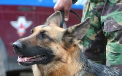 Служебная собака © KM.RU