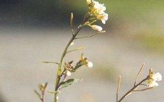 Arabidopsis thaliana. Фото с сайта wikimedia.org