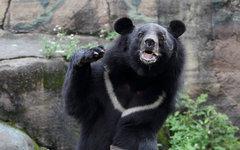 Гималайский медведь. Фото с сайта wikimedia.org