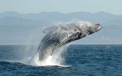 Горбатый кит. Фото Zorankovacevic с сайта wikimedia.org