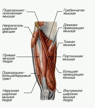 квадратная мышца бедра фото