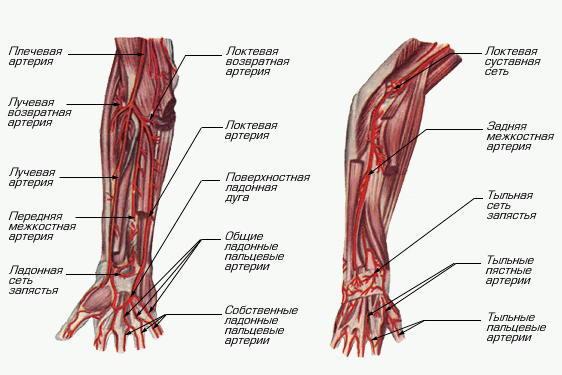 Анатомия схема верхних конечностей