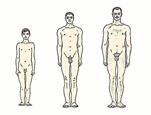 средний размер полового члена Северо-Западный
