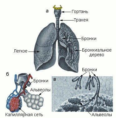 Изображение - Давление воздуха в легких человека phi0101l
