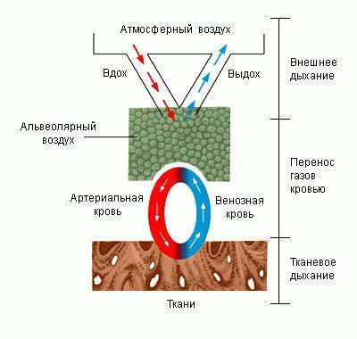 Изображение - Давление воздуха в легких человека phi0102l