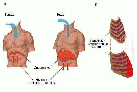 Изображение - Давление воздуха в легких человека phi0104l