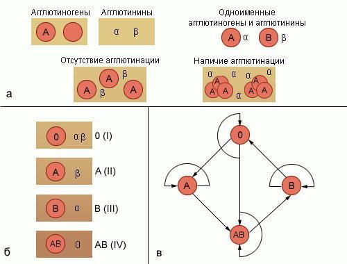 ...б) группы крови (распределение агглютининов и агглютиногенов); в) упрощенная схема возможности переливания крови...
